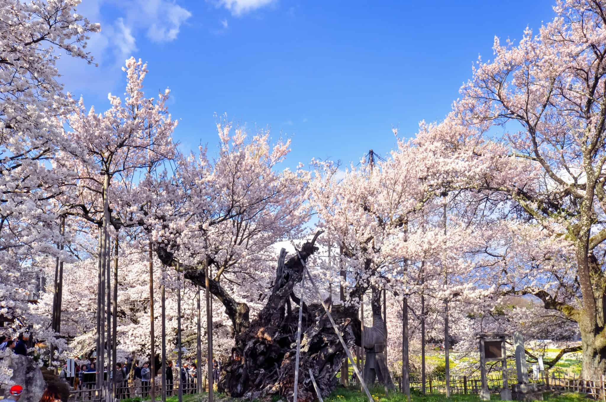 """Jindaizakura """"ซากุระ"""" เก่าแก่กว่า 2,000 ปี อยู่ที่จังหวัดยามานาชิ ญี่ปุ่น"""