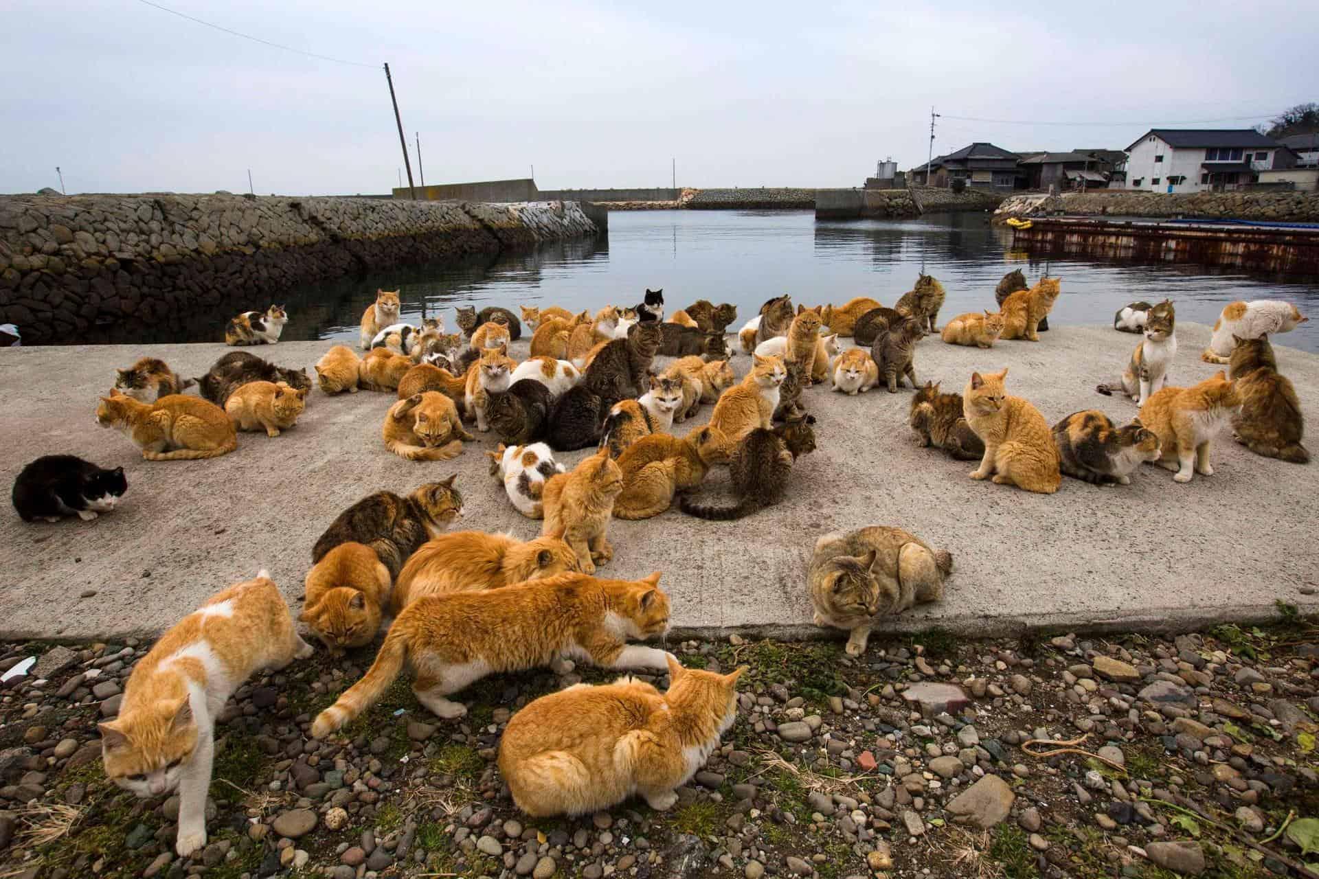 เกาะ แมว ญี่ปุ่น : เกาะทาชิโรจิมะ จังหวัดมิยากิ (Tashirojima, Miyagi)