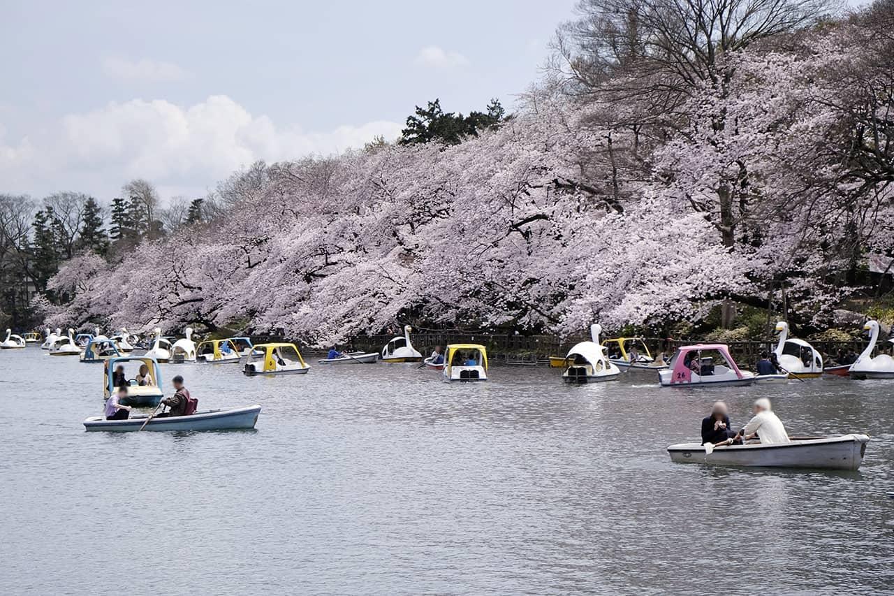 วิวซากุระจากสวนอิโนะคาชิระเมื่อมองจาก Pepa Cafe Forest