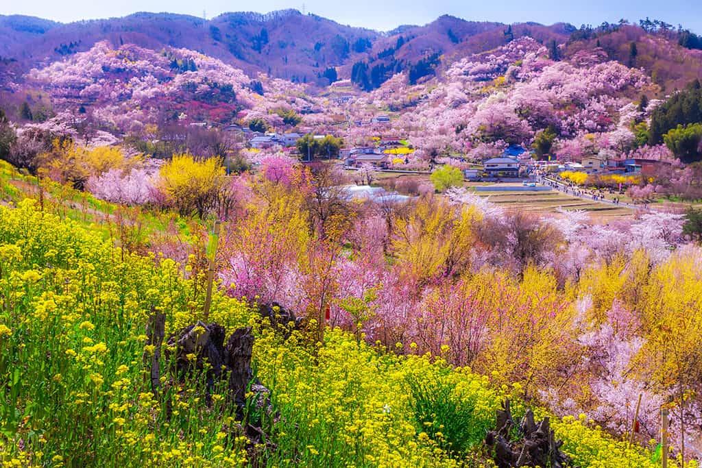 ชมซากุระที่สวนฮานามิยามะ อยู่ไม่ไกลจากสถานีรถไฟ ฟุกุชิมะ