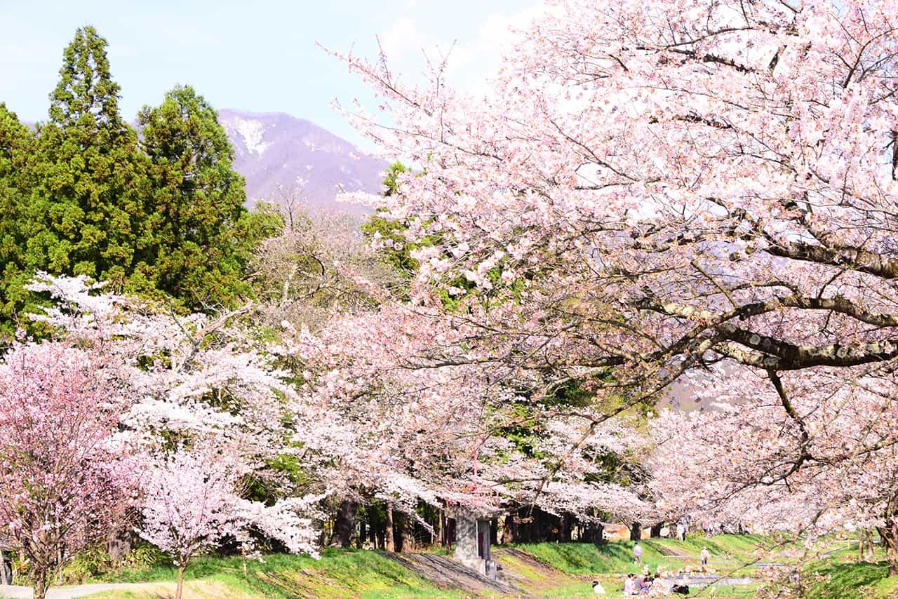 จุดชมซากุระบริเวณแม่น้ำคันนนจิ (Kannonji River Sakura)