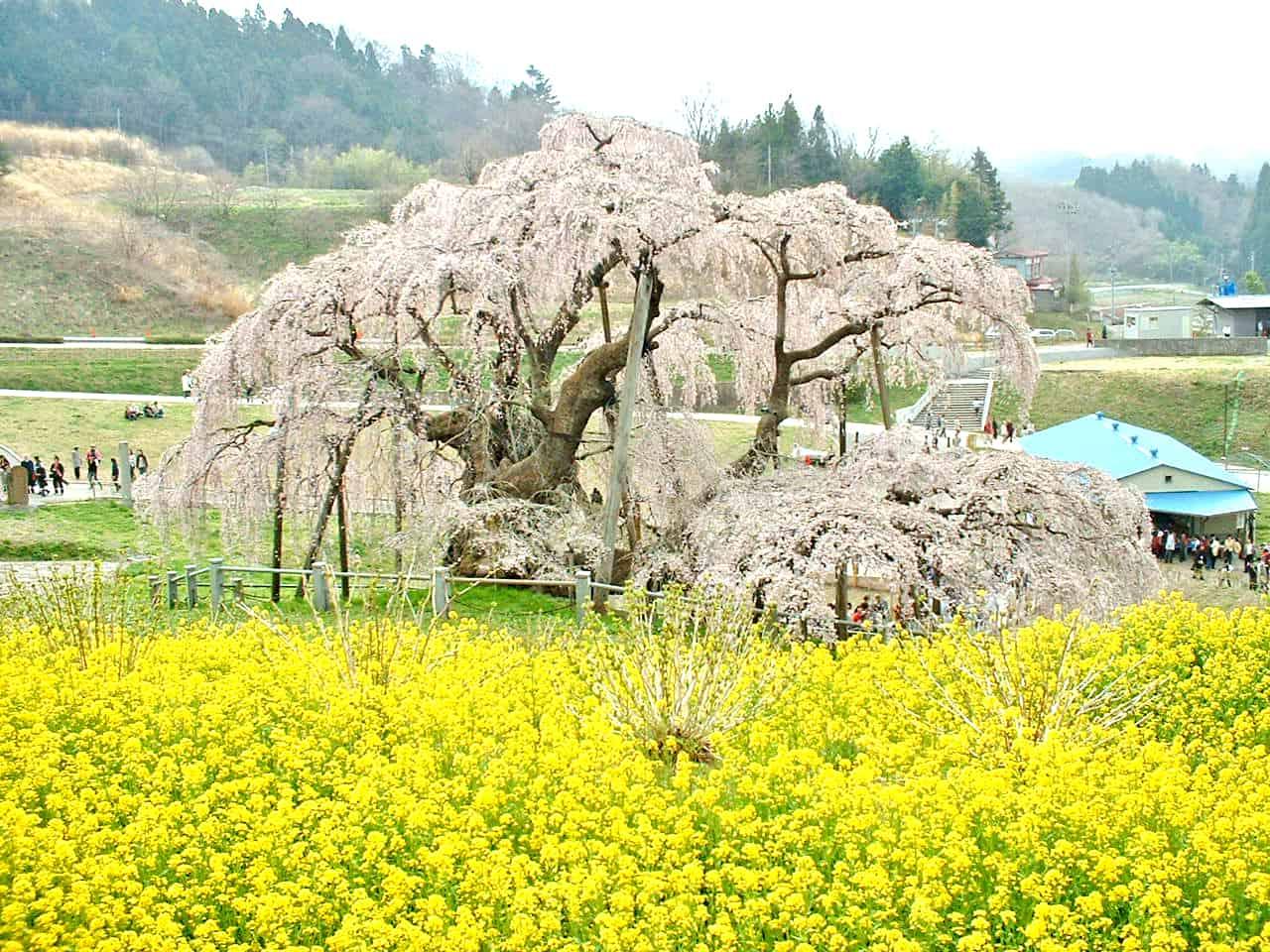 ต้นซากุระเก่าแก่กว่า 1,000 ปี ที่มิฮารุ ทากิซากุระ (Miharu Takizakura)