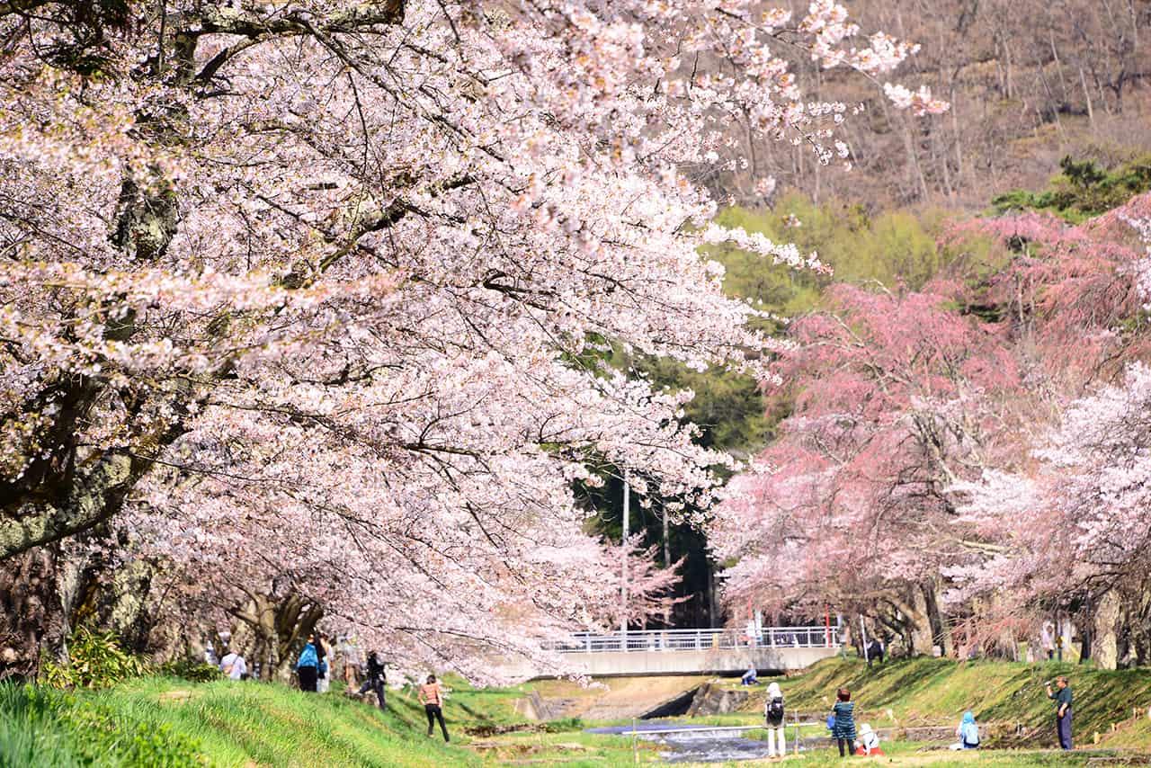 จุดชมซากุระ จ.ฟุกุชิมะ : แม่น้ำคันนนจิ (Kannonji River Sakura)