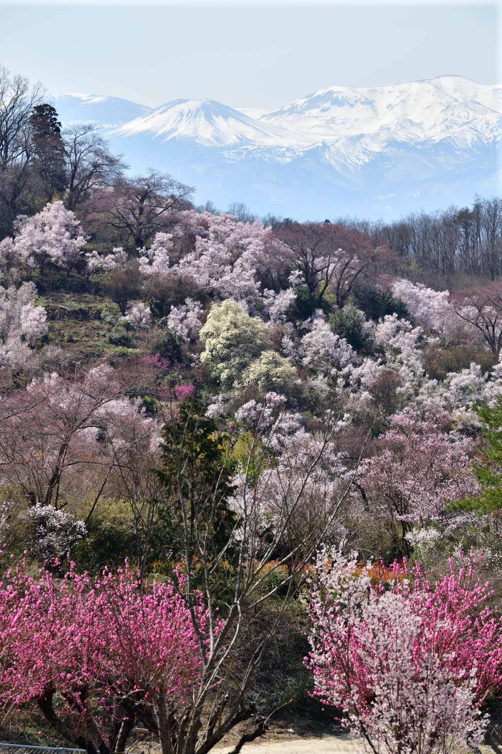บรรยากาศของฤดูใบไม้ผลิที่สวนฮานามิยามะ (Hanamiyama Park)