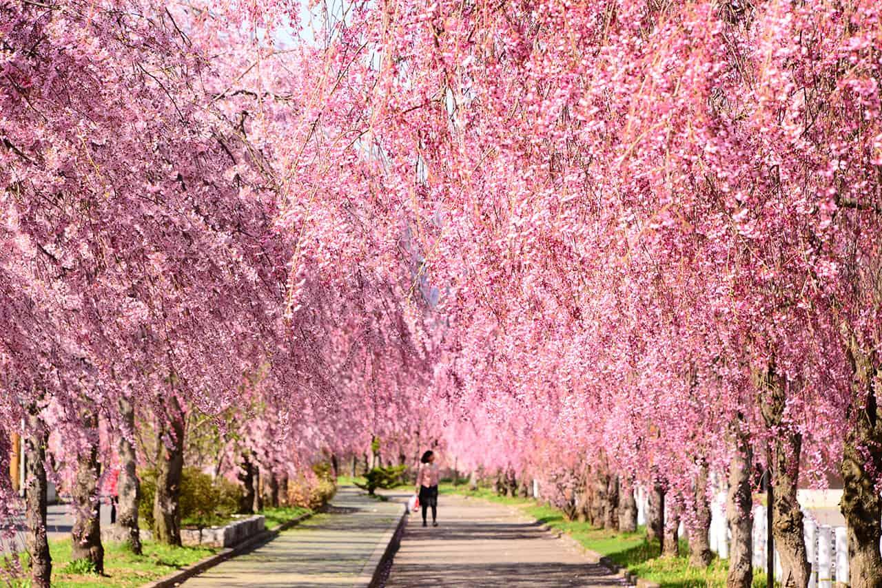 จุดชมซากุระ จ.ฟุกุชิมะ : นิชชูเซน (Nicchusen Weeping Cherry Tree)