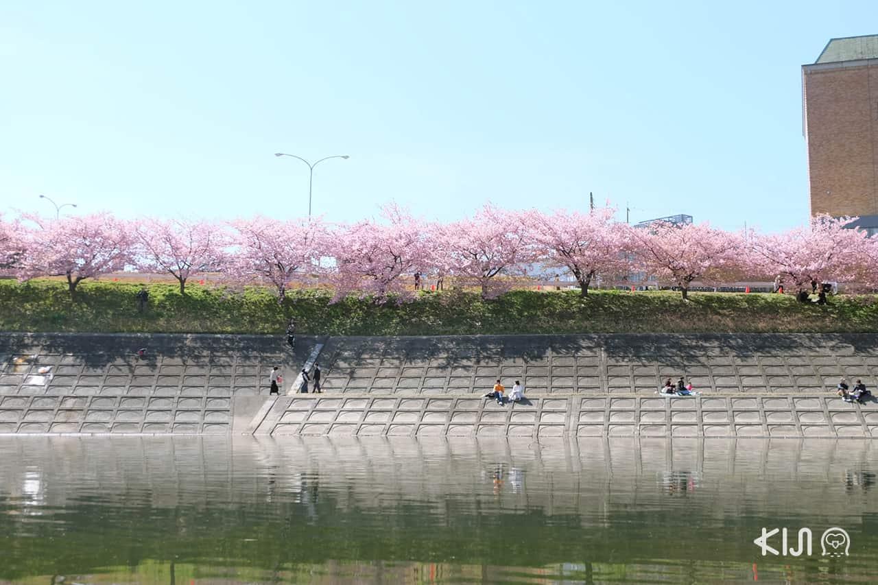 จุดชมวิวซากุระสวยๆ ริมแม่น้ำโอโตะที่ Aoizakura ในเมือง โอคาซากิ (Okazaki)