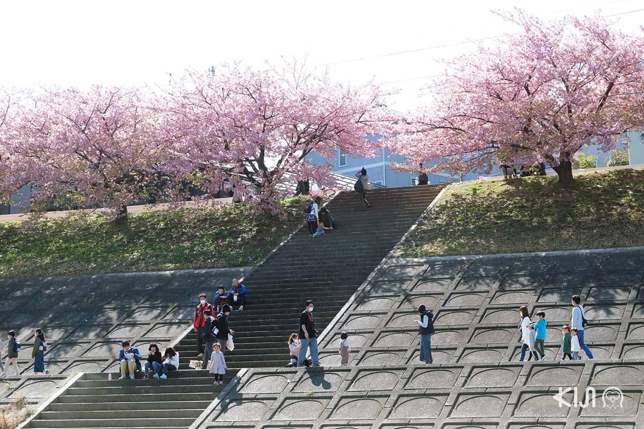 จุดชมต้นคาวาสึซากุระ ในเมือง โอคาซากิ (Okazaki)