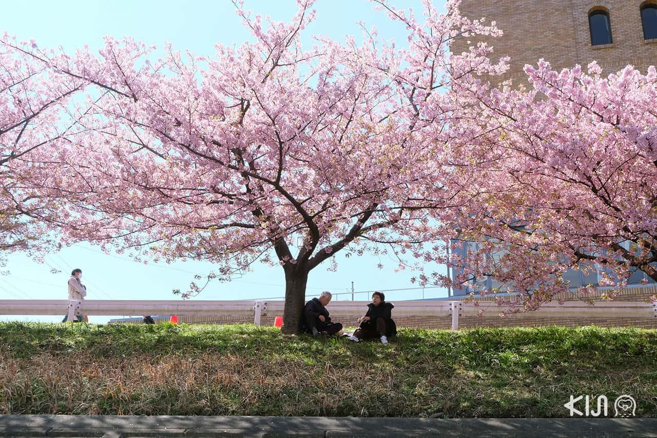 ชมต้นคาวาสึซากุระ ใน โอคาซากิ (Okazaki)