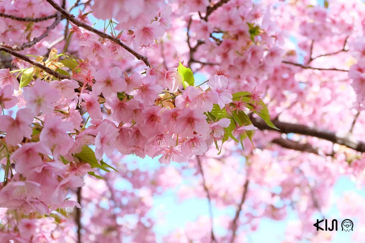 ที่เที่ยว โอคาซากิ - สวนโอคาซากิ จุดชมดอกไม้ยอดฮิตประจำเมือง