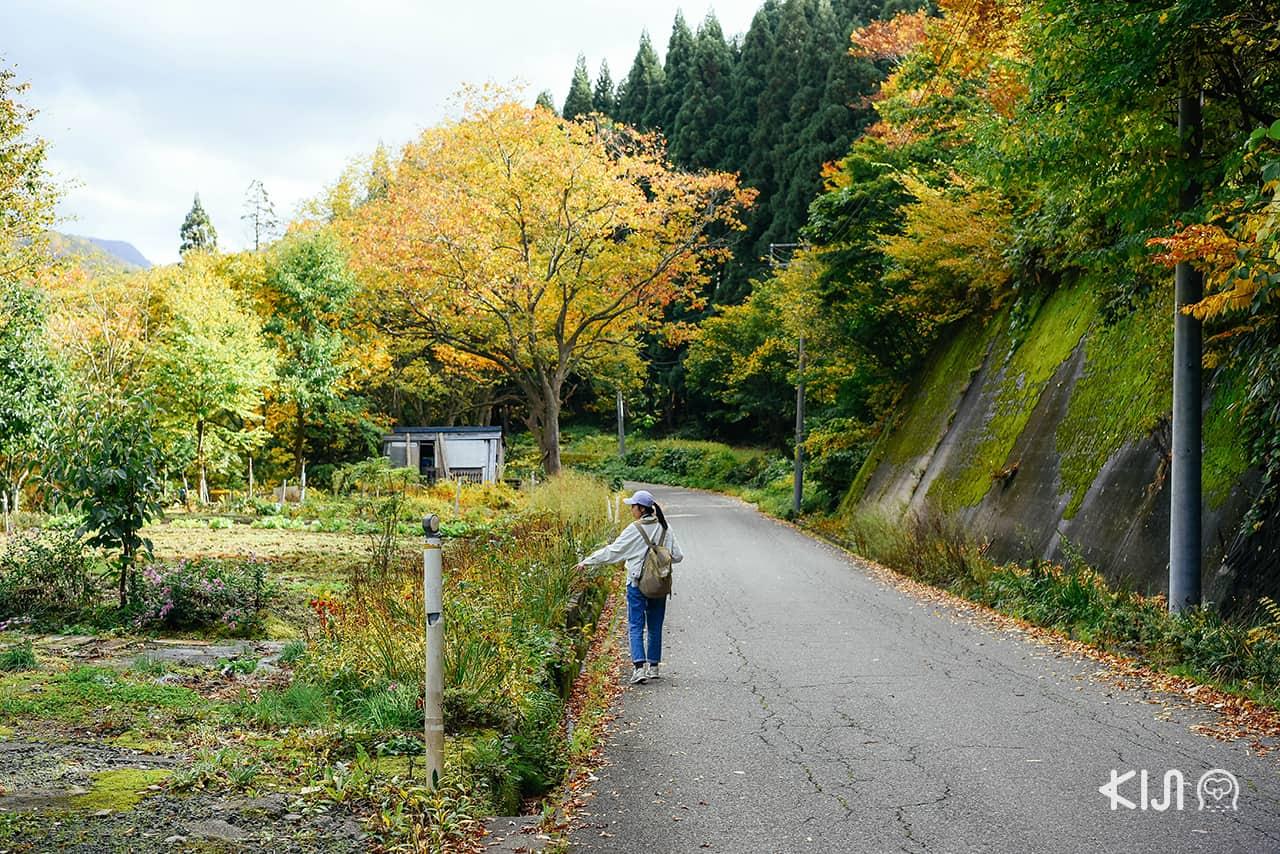 ชมใบไม้เปลี่ยนสีที่โอยาสุเคียว (Oyasukyo) จ.อาคิตะ