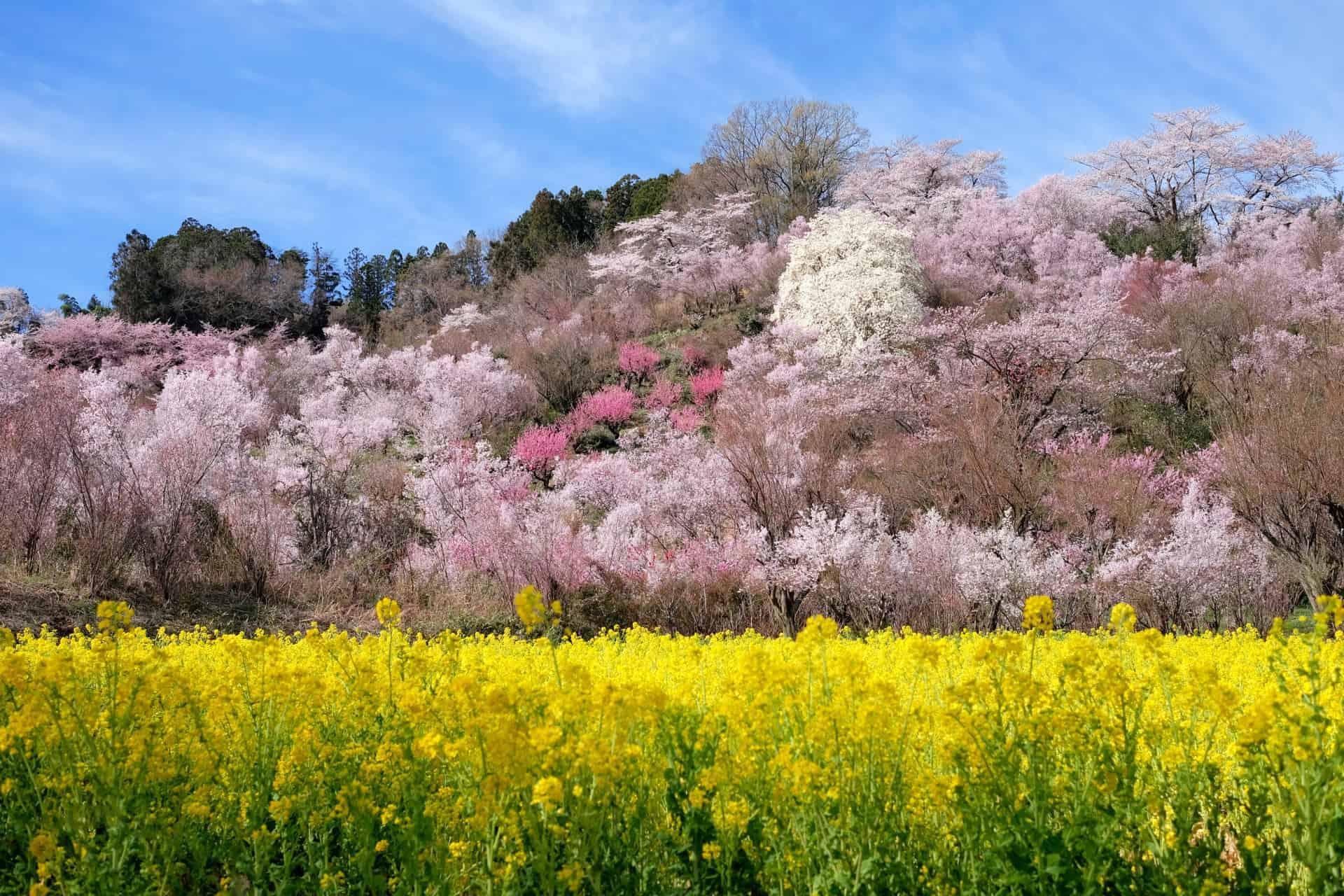 จุดชมซากุระ จ.ฟุกุชิมะ : สวนฮานามิยามะ (Hanamiyama Park)