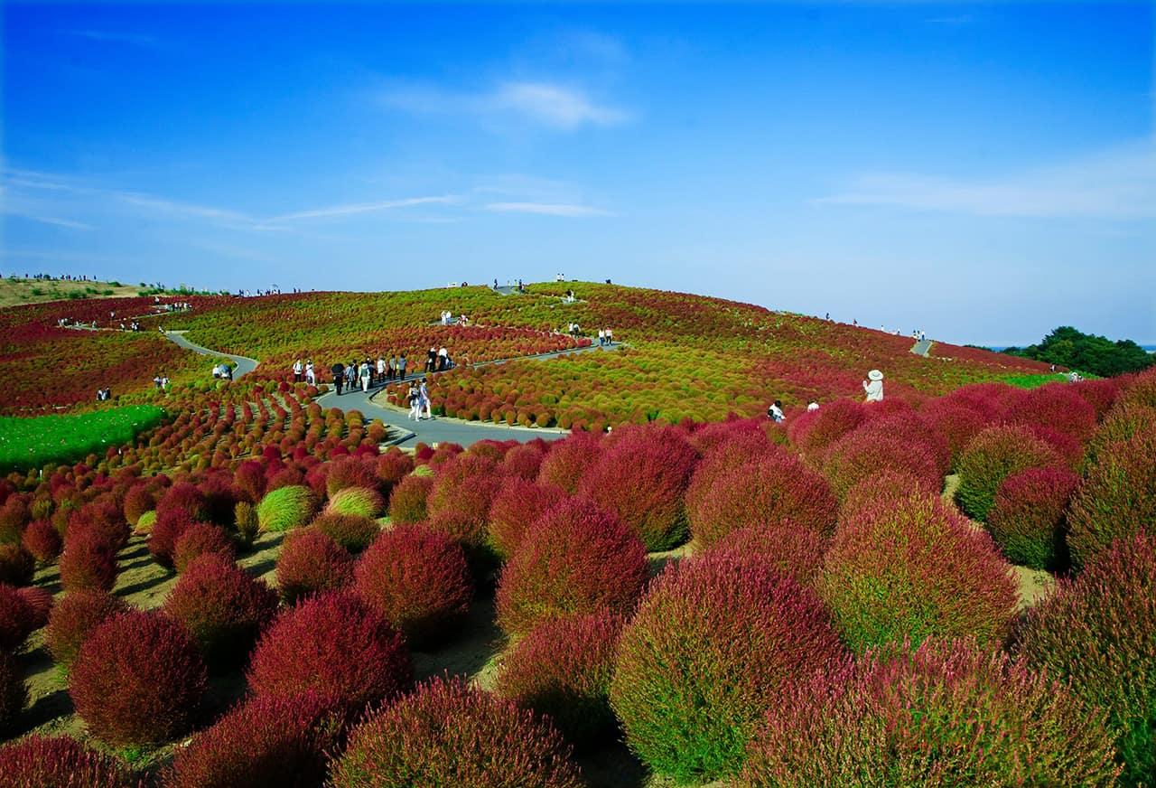 ต้นโคเชียกำลังผลัดสีที่สวนใน Hitachi Seaside Park