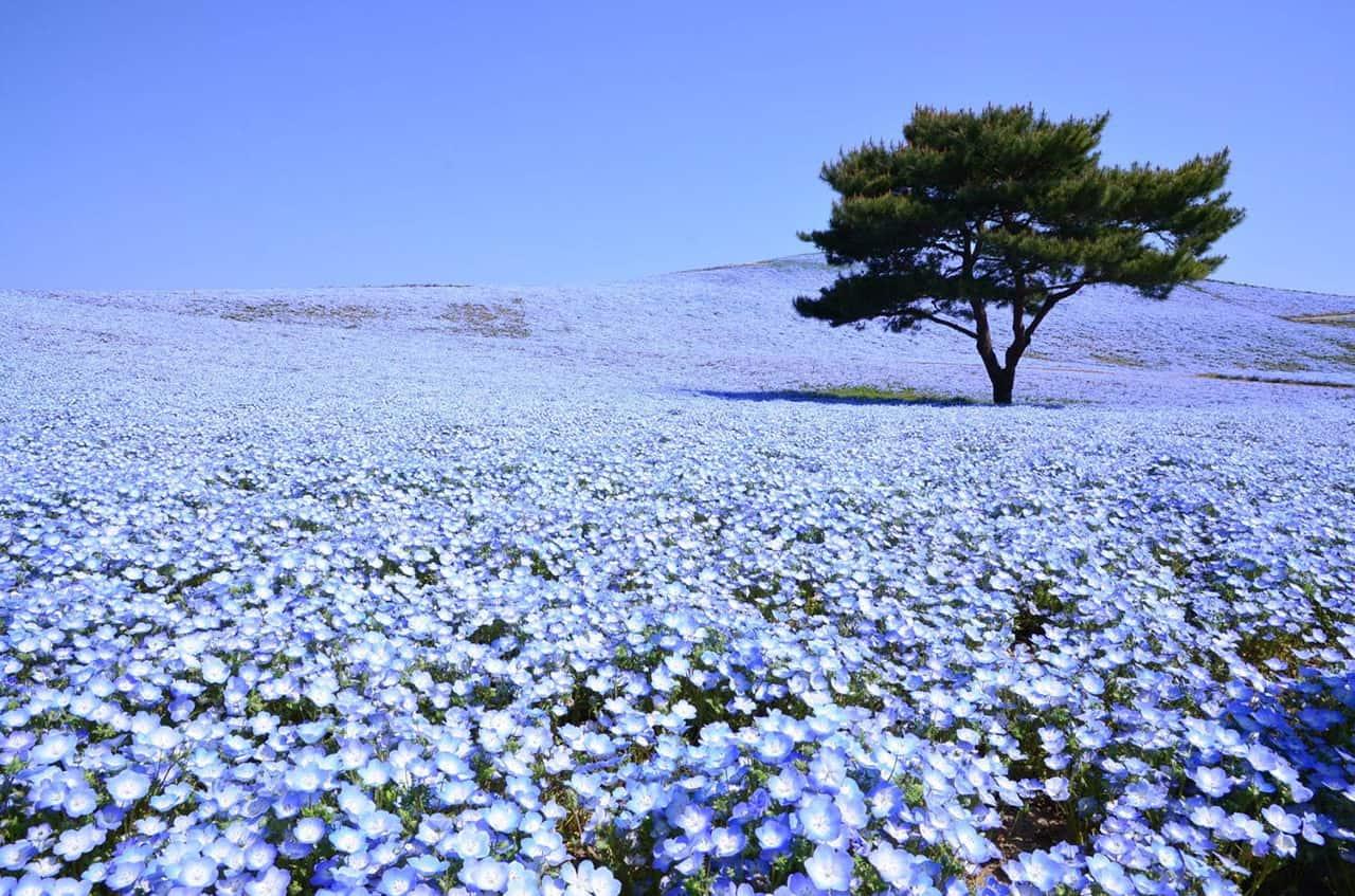 ทุ่งดอกไม้ใน Hitachi Seaside Park จังหวัดอิบารากิ ประเทศญี่ปุ่น