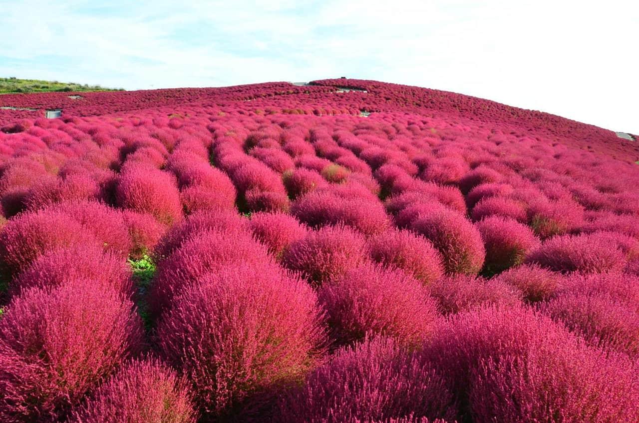 ต้นโคเชียผลัดสีในฤดูใบไม้ร่วงที่ Hitachi Seaside Park