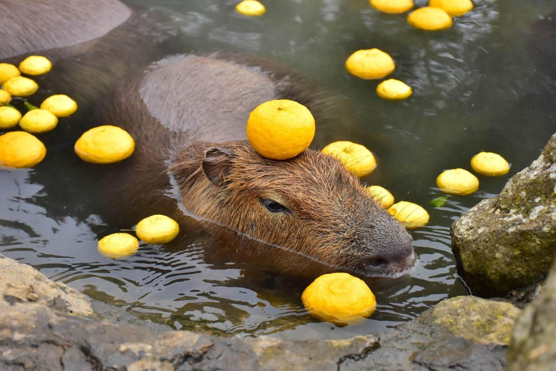 ในช่วงที่จัดงาน Ganso Capybara no Rotenburo เจ้าหน้าที่จะจัดดอกไม้หรือผลไม้มาลอยน้ำเพื่อเพิ่มสีสันให้น้องๆ ด้วย