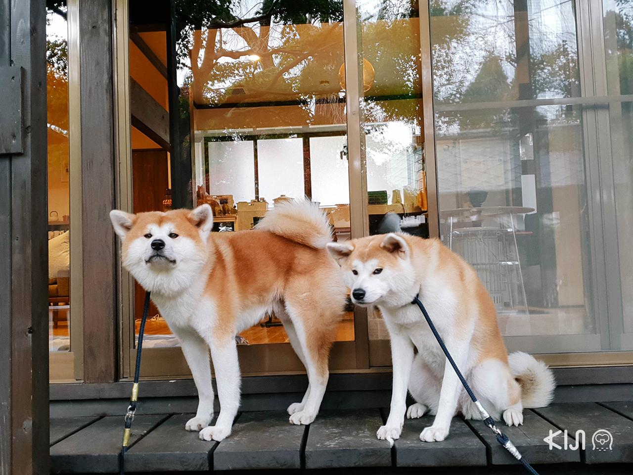 เที่ยว โทโฮคุ ช่วง ฤดู ใบไม้เปลี่ยนสี : ชมความน่ารักของน้องหมาพันธุ์อาคิตะ