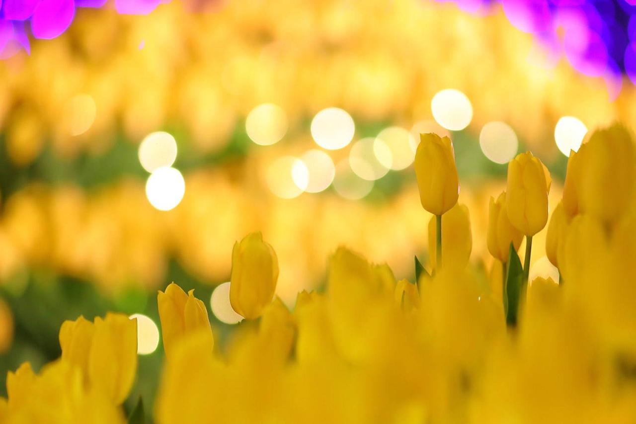 ทุ่งดอกทิวลิปกว่า 20,000 ดอกภายในงาน Shonan no Hoseki