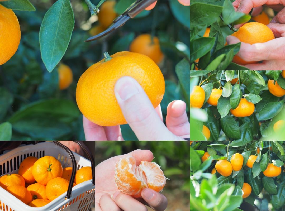 Hamamatsu Fruit Park Tokinosumika กับผลส้มหวานๆ อร่อยๆ