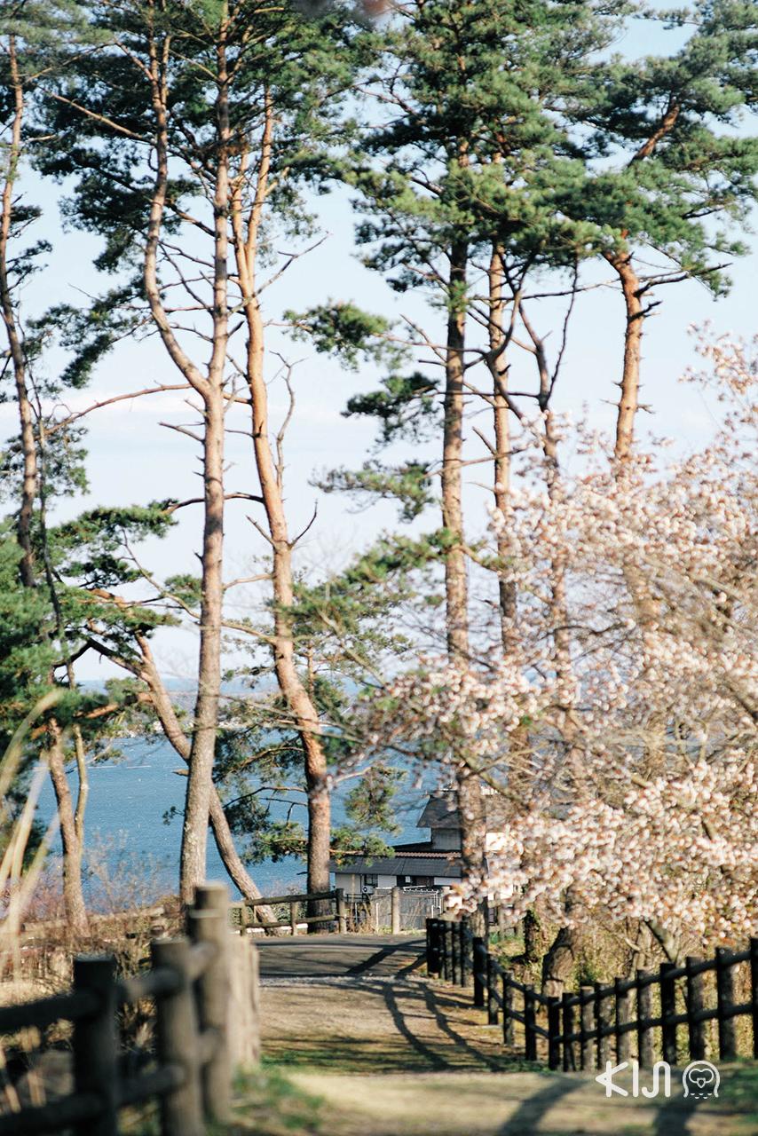 นอกจากจะได้ ชมซากุระ ใน มิยากิ แล้วยังได้ชมวิวเมืองสวยๆบนเขาอีกต่างหาก