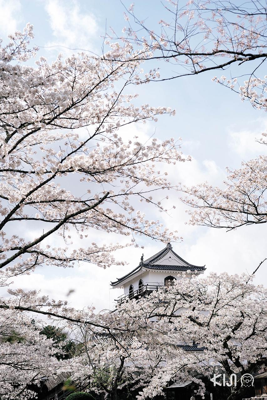 ปราสาทชิโรอิชิเป็นอีกหนึ่ง ชมซากุระ ใน มิยากิ ที่น่าสนใจ
