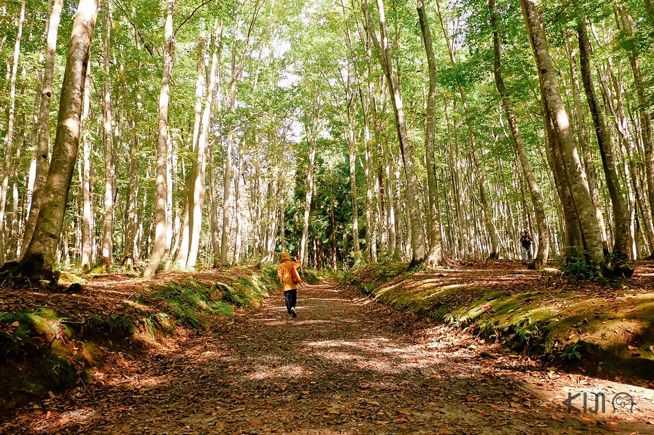 'บิจินบายาชิ' หรือป่าแห่งสาวงาม ธรรมชาติที่กว้างใหญ่ใน โทคามาจิ