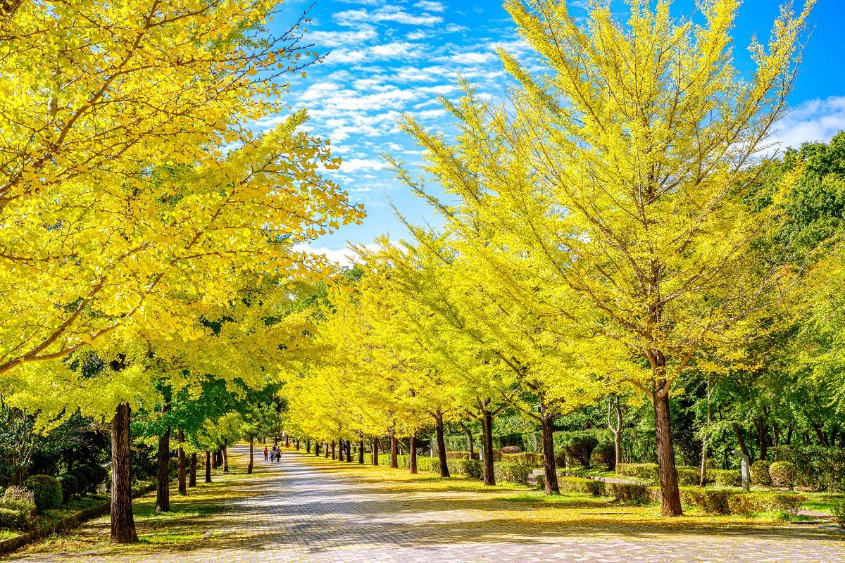 ชมใบไม้เปลี่ยนสี ที่ จิจิบุ มิวซ์ ปาร์ค (Chichibu Muse Park) จังหวัดไซตามะ