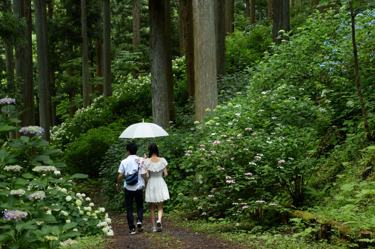 สวนมิจิโนะคุอาจิไซ (Michinoku Ajisai Garden) สวนไฮเดรนเยียใหญ่ที่สุดในญี่ปุ่น