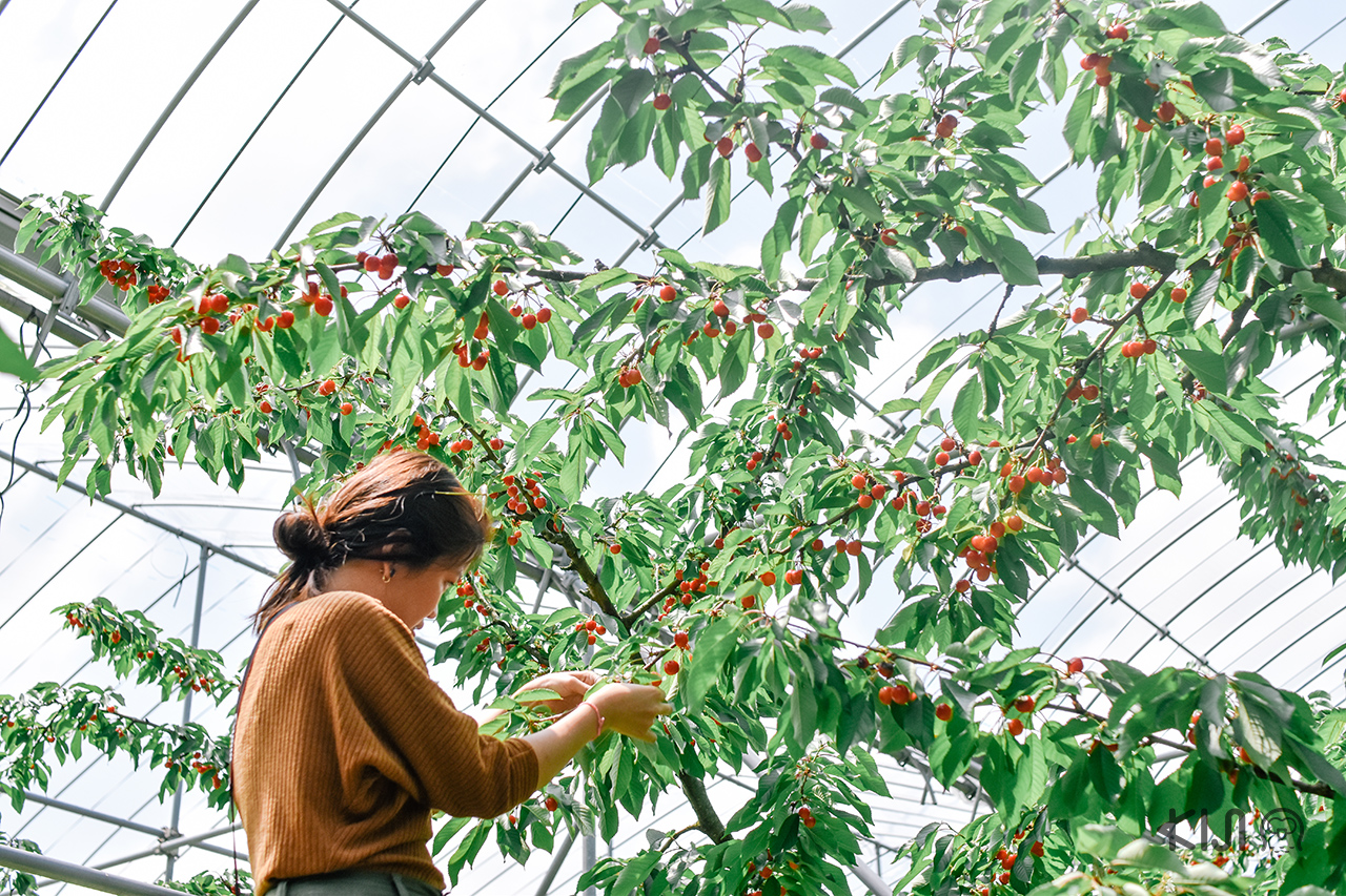 ไร่ผลไม้โอโช (OHSYO Fruits Farm) จ.ยามากาตะ