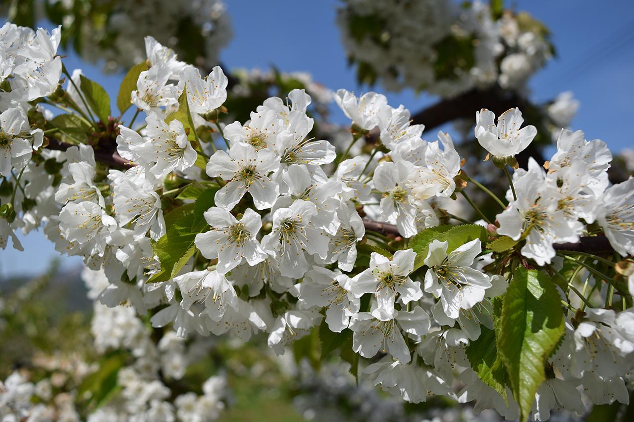 เทศกาลชมดอกแอปเปิ้ล (Hirosaki Apple Flower Festival)