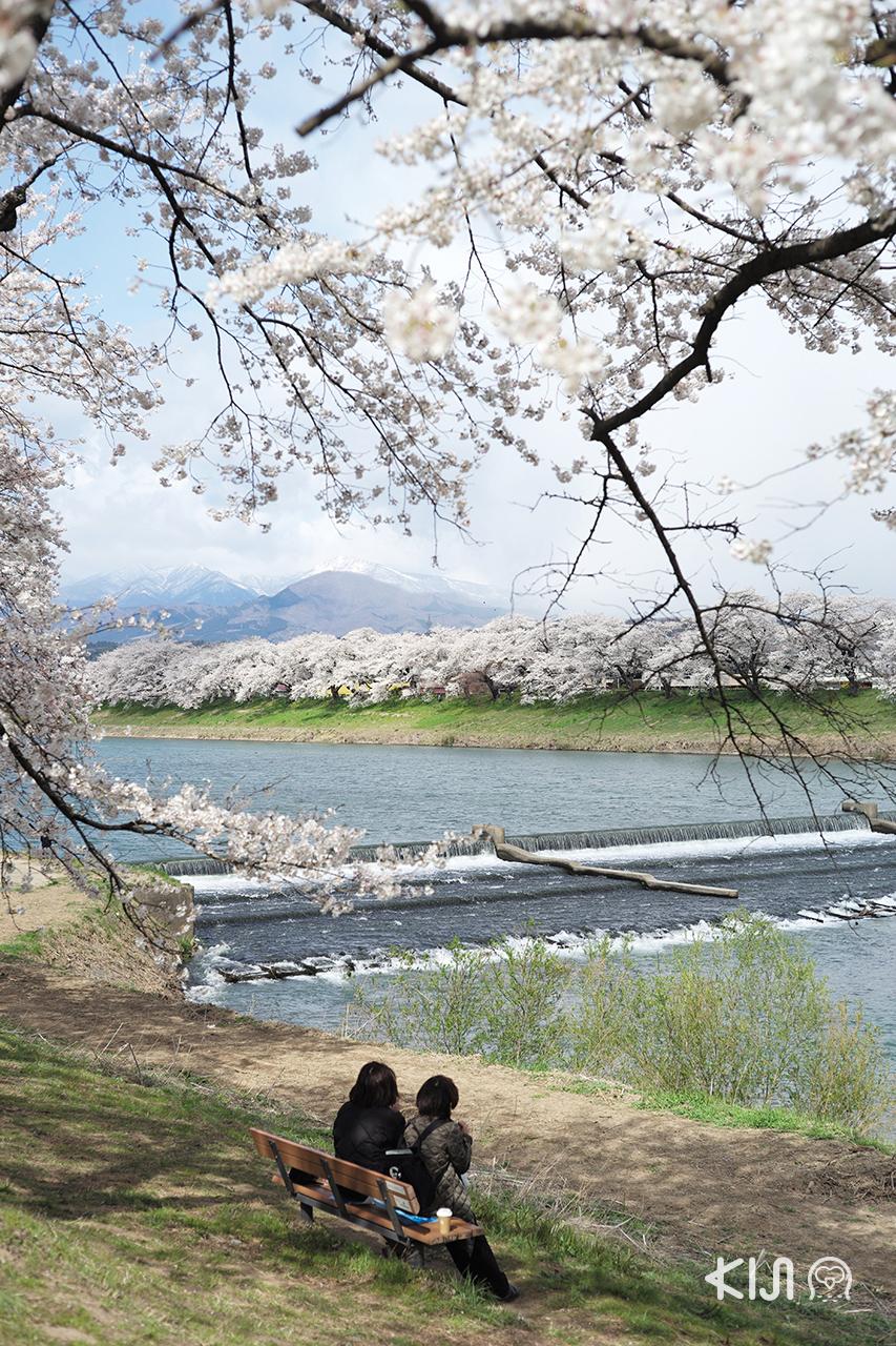 จุดชมซากุระ จ.มิยากิ (Miyagi) - แม่น้ำชิโรอิชิที่ (Shiroishi River)