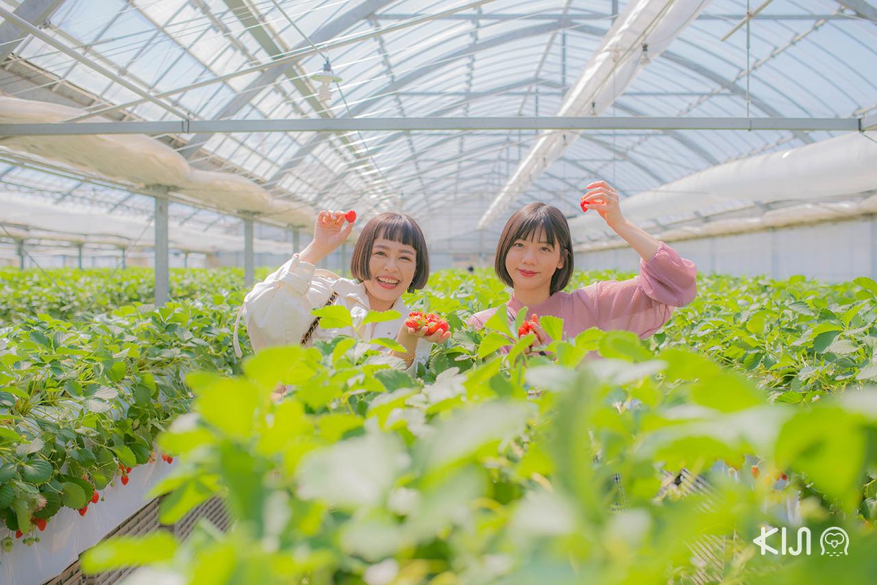 Tsujiguchi Farm ฟาร์มสตรอว์เบอร์รีอีกหนึ่งไฮไลท์ด้านใน AQUAIGNIS