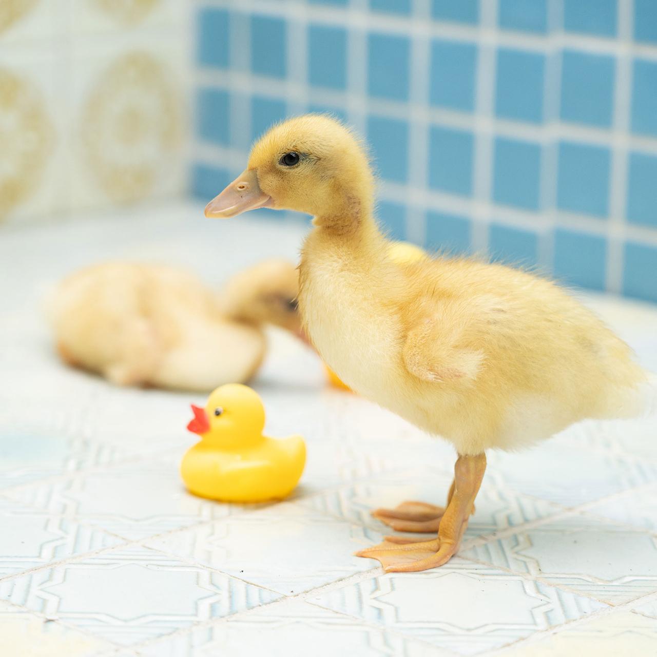 โรงอาบน้ำ Tamagawa Onsen ในจังหวัดไซตามะ จัดอีเว้นท์ให้อาบน้ำกับเป็ดเหลืองตัวเป็นๆ ได้