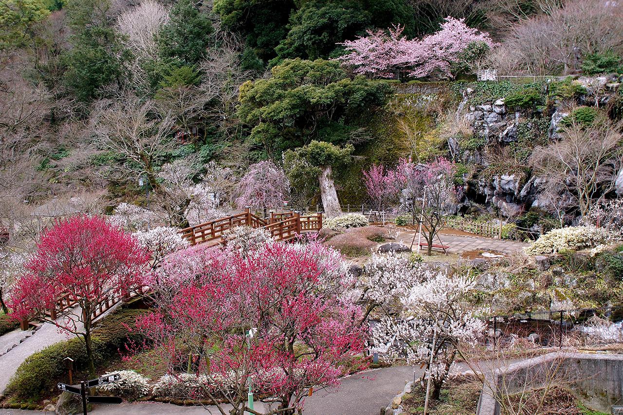 หากมาเที่ยว Atami Onsen ในฤดูใบไม้ผลิ ห้ามพลาดแวะเที่ยวที่สวนดอกบ๊วยแสนสวย Atami Plum Garden