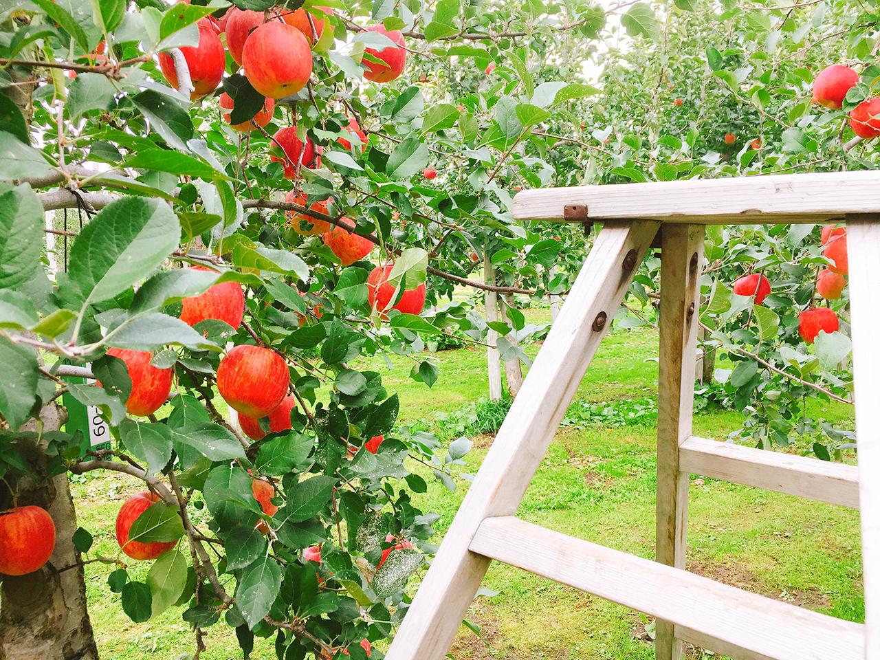 เก็บแอปเปิ้ลที่ Hirosaki Apple Park ฤดูร้อน อาโอโมริ