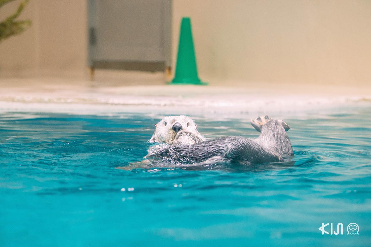 Toba Aquarium นากทะเลก็เป็นอีกหนึ่งสัตว์หาชมยาก มีนิสัยขี้เล่น ทะเล้นสุดๆ