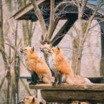 Zao-Fox-Village_m