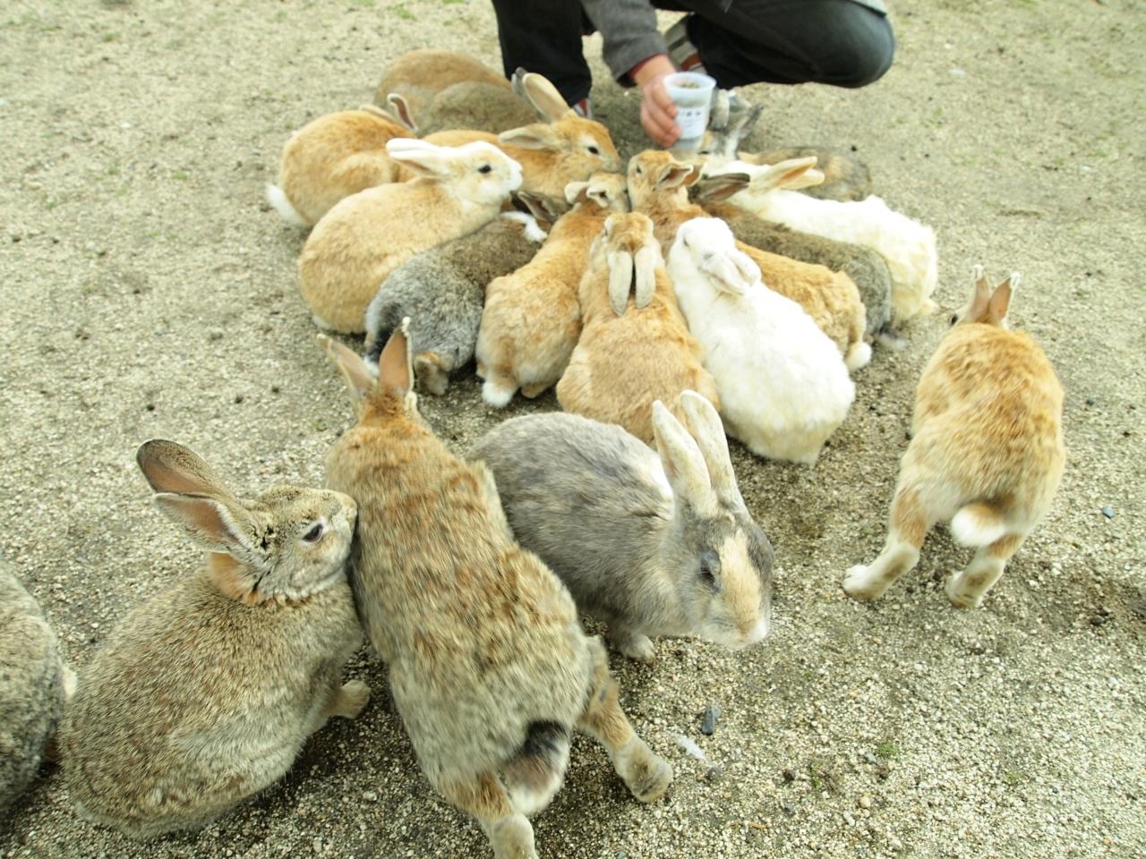 สามารถให้อาหารสัตว์บน เกาะกระต่าย Okunoshima ได้